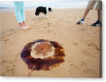 Lions Mane Jellyfish Canvas Print by Ashley Cooper