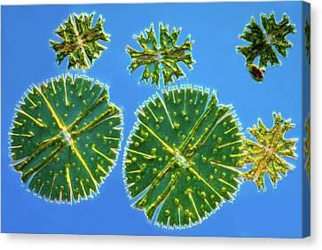 Micrasterias Desmids Canvas Print