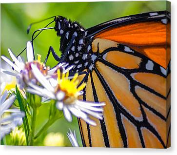 Monarch Butterfly Canvas Print by Brian Stevens