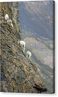 Mountain Goats Along Kongakut River Canvas Print by Tom Norring