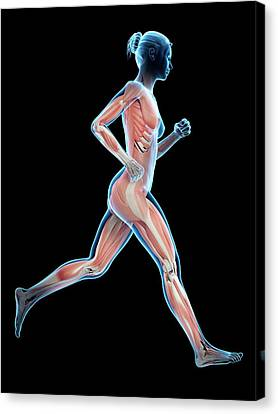 Muscular System Of A Runner Canvas Print by Sebastian Kaulitzki
