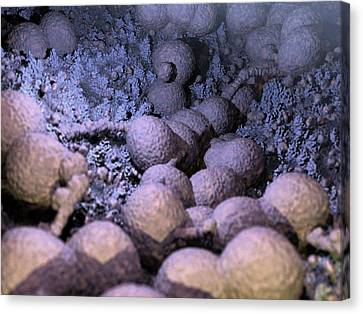 Neisseria Gonorrhoeae Bacteria Canvas Print by Hipersynteza