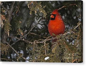 Wildlife Canvas Print - Northern Cardinal by Michael Cummings