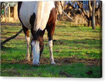 Paint Mare Canvas Print by Thea Wolff