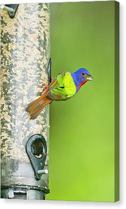 Painted Bunting (passerina Ciris Canvas Print by Larry Ditto