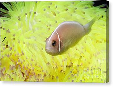 Clown Fish Canvas Print - Pink Anemonefish Sheltering by Georgette Douwma