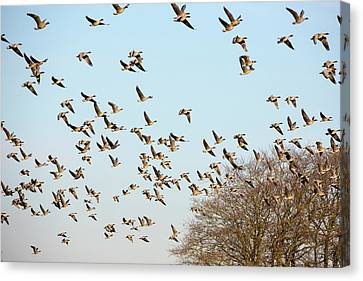 Pink Footed Geese (anser Brachyrhynchus) Canvas Print