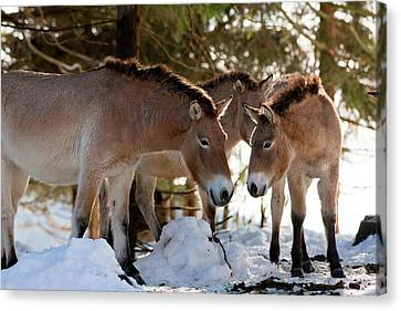 Przewalski's Horse Or Takhi (equus Canvas Print by Martin Zwick