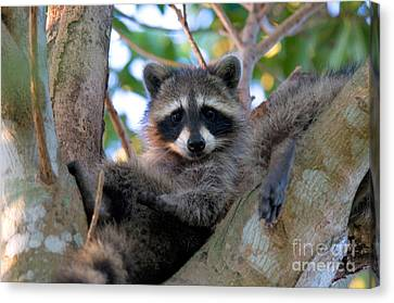 Raccoon Canvas Print by Mark Newman