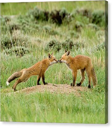 Fox Kit Canvas Print - Red Fox (vulpes Fulva by Howie Garber