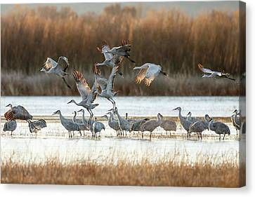 Sandhill Cranes Flying, Grus Canvas Print by Maresa Pryor