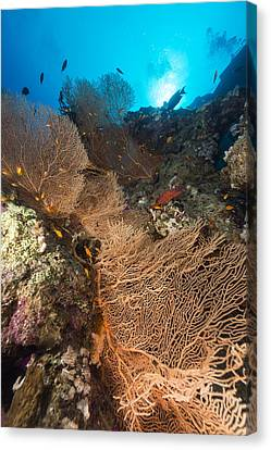 Sea Fan And Tropical Reef In The Red Sea. Canvas Print by Stephan Kerkhofs