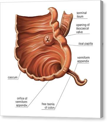 Appendix Canvas Print - Small Intestine by Asklepios Medical Atlas