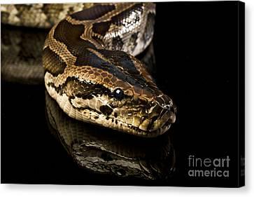 Snake Canvas Print by Gunnar Orn Arnason