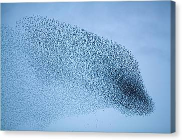 Starlings Flying To Roost Canvas Print
