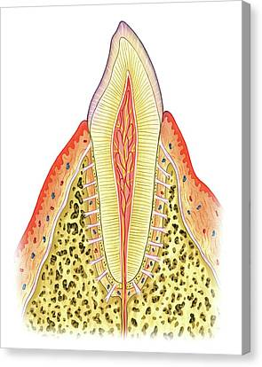 Structure Of Incisor Tooth Canvas Print by Asklepios Medical Atlas