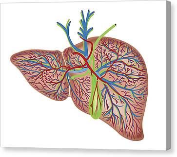 Portal Canvas Print - The Liver by Asklepios Medical Atlas
