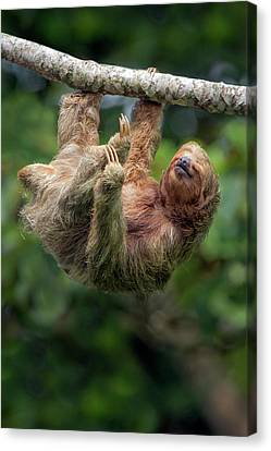 Three-toed Sloth Canvas Print - Three-toed Sloth Bradypus Tridactylus by Panoramic Images