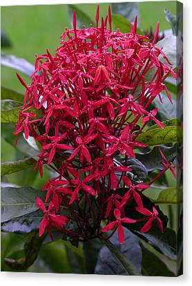 Canvas Print - Tropical Flower by Robert Lozen