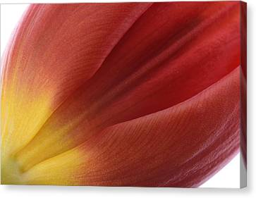 Tulip Canvas Print by Mark Johnson