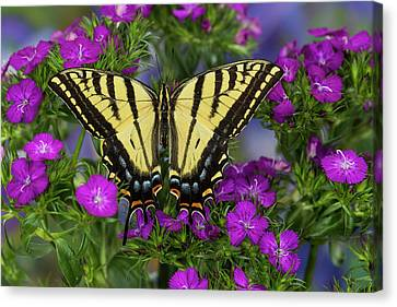 Two-tailed Swallowtail Butterfly Canvas Print by Darrell Gulin