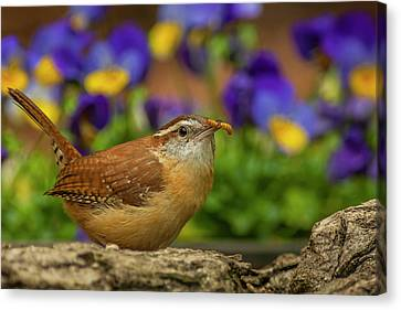 Wren Canvas Print - Usa, North Carolina, Guilford County by Jaynes Gallery