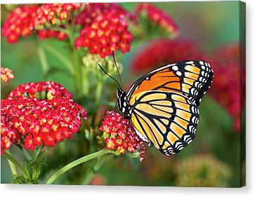 Viceroy Butterfly That Mimics Canvas Print by Darrell Gulin
