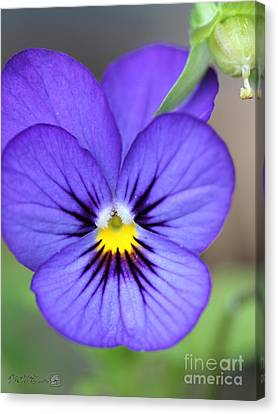 Viola Named Sorbet Blue Heaven Jump-up Canvas Print by J McCombie