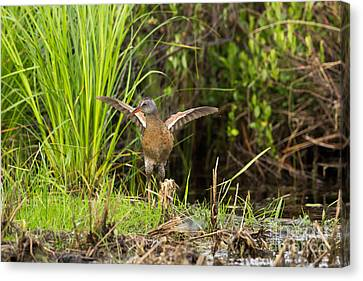 Virginia Rail Rallus Limicola Canvas Print by Linda Freshwaters Arndt
