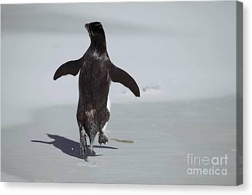Beach Hop Canvas Print - Western Rockhopper Penguin by Charlotte Main