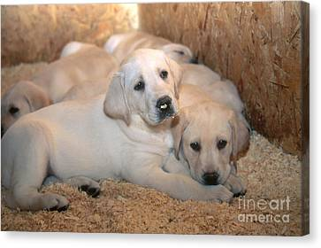 Yellow Labrador Retriever Puppies Canvas Print by Linda Freshwaters Arndt