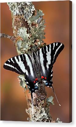 Zebra Swallowtail North American Canvas Print
