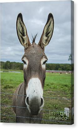 Animal Personalities Friendly Quirky Donkey Face Close Up Canvas Print by Jani Bryson