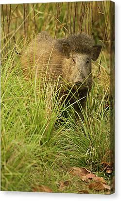 Asia, India, Kanha National Park Canvas Print by Joe and Mary Ann Mcdonald