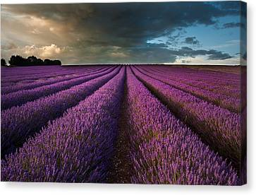 Beautiful Lavender Field Landscape With Dramatic Sky Canvas Print by Matthew Gibson