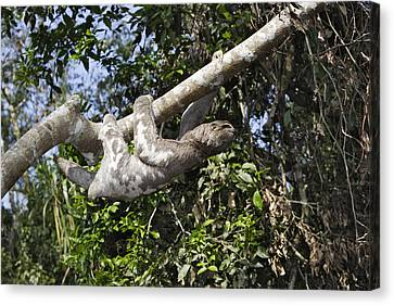 Brown-throated Three-toed Sloth Canvas Print - Brown-throated Three-toed Sloth by M. Watson