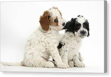 Cavapoo Puppies Canvas Print by Mark Taylor