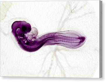 Chicken Embryo, Light Micrograph Canvas Print by Dr. Keith Wheeler