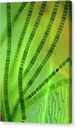 Desmids On Sphagnum Moss Canvas Print by Marek Mis