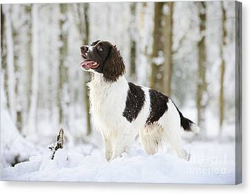 English Springer Spaniel Canvas Print by John Daniels