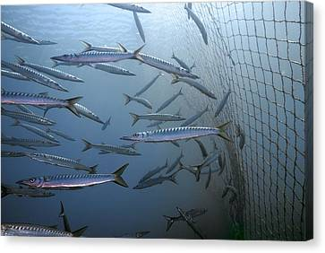 European Barracuda Canvas Print by Science Photo Library