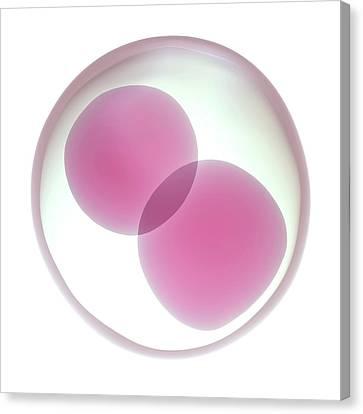 Fertilised Egg Cell Dividing Canvas Print by Maurizio De Angelis
