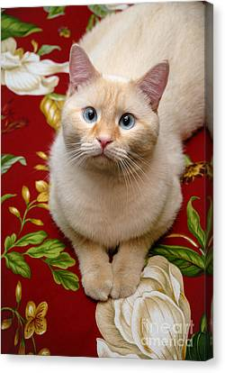 Flame Point Siamese Canvas Print - Flame Point Siamese Cat by Amy Cicconi
