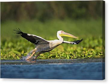 Flying White Pelicans Canvas Print - Great White Pelican (pelecanus by Martin Zwick