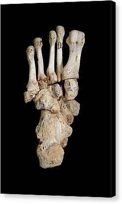 Homo Heidelbergensis Fossil Foot Bones Canvas Print by Javier Trueba/msf