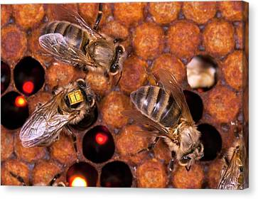Honey Bee Pesticide Research Canvas Print by Philippe Psaila