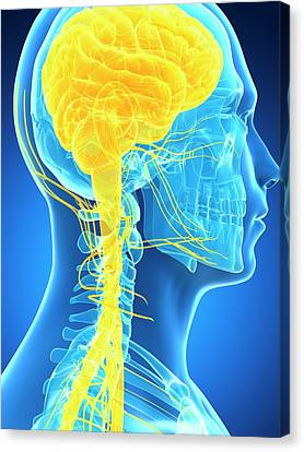 Human Brain And Nervous System Canvas Print by Sebastian Kaulitzki
