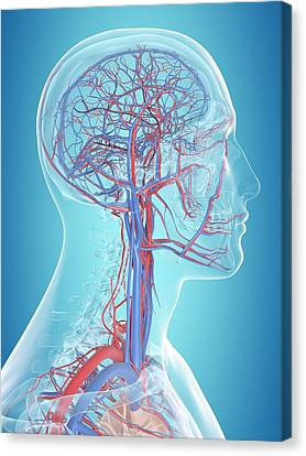Human Vascular System Canvas Print by Sciepro