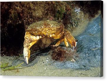 Jonah Crab Canvas Print by Andrew J. Martinez