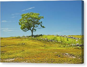Lone Tree With Blue Sky In Blueberry Field Maine Canvas Print by Keith Webber Jr